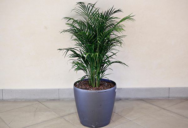 Cây dừa cảnh trồng văn phòng