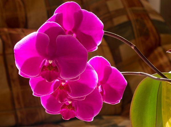 Vitamin b1 cho phong lan