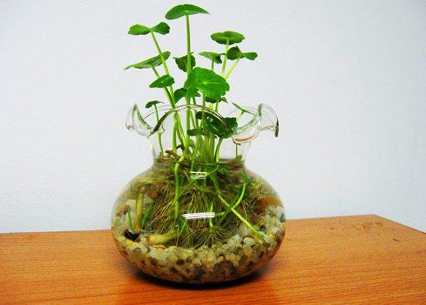 Cách trồng cây rau má cảnh
