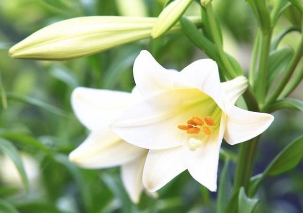 Hoa bách hợp màu trắng