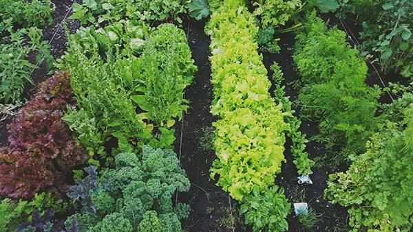 trồng rau xà lách