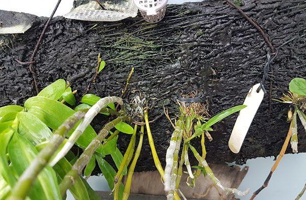 Rêu đen nhớt bám trên lan
