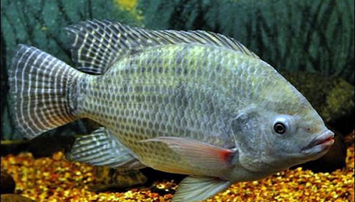 Mơ thấy cá rô đánh con gì? Giải mã giấc mơ thấy cá rô chuẩn nhất